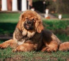 Породы собак с описанием и фото. - Страница 2 1481469876_tibetan-mastiff-dog-photo-8