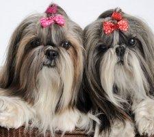 Породы собак с описанием и фото. - Страница 2 1481704177_shih-tzu-dog-photo-4