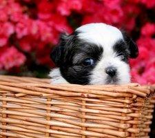 Породы собак с описанием и фото. - Страница 2 1481704206_shih-tzu-dog-photo-7