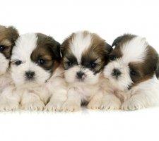 Породы собак с описанием и фото. - Страница 2 1481704211_shih-tzu-dog-photo-5