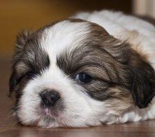 Породы собак с описанием и фото. - Страница 2 1481704243_shih-tzu-dog-photo-2