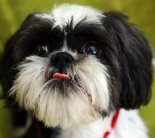 Породы собак с описанием и фото. - Страница 2 1481704259_shih-tzu-dog-photo-9