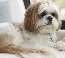 Породы собак с описанием и фото. - Страница 2 1481704265_shih-tzu-dog-photo-1