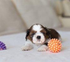 Породы собак с описанием и фото. - Страница 2 1481704265_shih-tzu-dog-photo-8