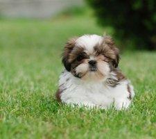 Породы собак с описанием и фото. - Страница 2 1481704268_shih-tzu-dog-photo-6