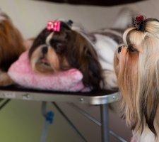 Породы собак с описанием и фото. - Страница 2 1481704272_shih-tzu-dog-photo-3
