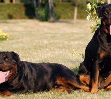 Породы собак с описанием и фото. - Страница 2 1481740884_rottweiler-dog-photo-1