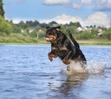 Породы собак с описанием и фото. - Страница 2 1481740891_rottweiler-dog-photo-9