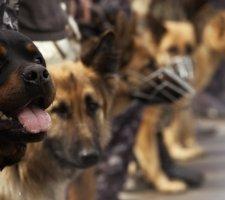 Породы собак с описанием и фото. - Страница 2 1481740906_rottweiler-dog-photo-7