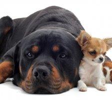 Породы собак с описанием и фото. - Страница 2 1481740918_rottweiler-dog-photo-3