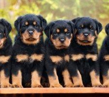 Породы собак с описанием и фото. - Страница 2 1481740927_rottweiler-dog-photo-2