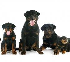 Породы собак с описанием и фото. - Страница 2 1481740929_rottweiler-dog-photo-5