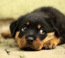 Породы собак с описанием и фото. - Страница 2 1481740950_rottweiler-dog-photo-4