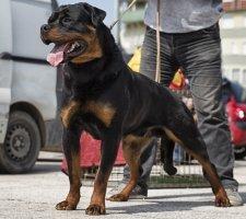 Породы собак с описанием и фото. - Страница 2 1481740951_rottweiler-dog-photo-6