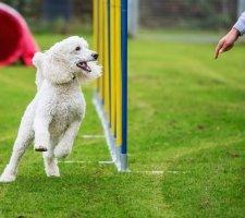 Породы собак с описанием и фото. - Страница 2 1481748454_poodle-dog-photo-1