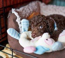 Породы собак с описанием и фото. - Страница 2 1481748468_poodle-dog-photo-3