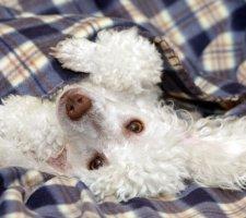 Породы собак с описанием и фото. - Страница 2 1481748469_poodle-dog-photo-6
