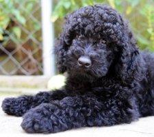 Породы собак с описанием и фото. - Страница 2 1481748494_poodle-dog-photo-9