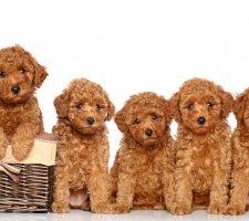 Породы собак с описанием и фото. - Страница 2 1481748503_poodle-dog-photo-5