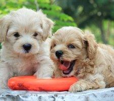 Породы собак с описанием и фото. - Страница 2 1481748504_poodle-dog-photo-2