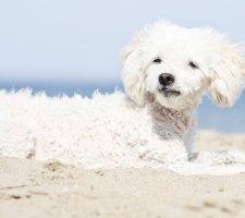 Породы собак с описанием и фото. - Страница 2 1481748553_poodle-dog-photo-4