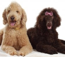 Породы собак с описанием и фото. - Страница 2 1481748553_poodle-dog-photo-8