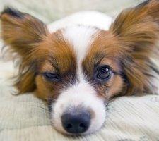 Породы собак с описанием и фото. - Страница 2 1482869624_papillon-dog-photo-1