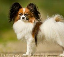 Породы собак с описанием и фото. - Страница 2 1482869673_papillon-dog-photo-6