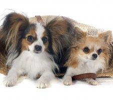Породы собак с описанием и фото. - Страница 2 1482869681_papillon-dog-photo-8
