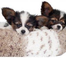 Породы собак с описанием и фото. - Страница 2 1482869689_papillon-dog-photo-5