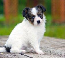 Породы собак с описанием и фото. - Страница 2 1482869694_papillon-dog-photo-3