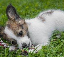 Породы собак с описанием и фото. - Страница 2 1482869696_papillon-dog-photo-7