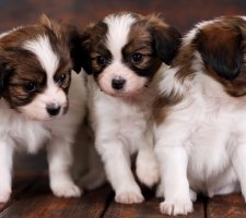 Породы собак с описанием и фото. - Страница 2 1482869700_papillon-dog-photo-2