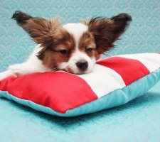 Породы собак с описанием и фото. - Страница 2 1482869722_papillon-dog-photo-4