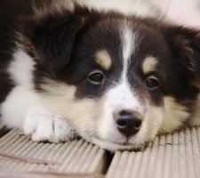 Породы собак с описанием и фото. - Страница 2 1482935989_shetland-sheepdog-dog-photo-7