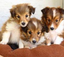 Породы собак с описанием и фото. - Страница 2 1482935991_shetland-sheepdog-dog-photo-2