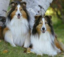 Породы собак с описанием и фото. - Страница 2 1482936014_shetland-sheepdog-dog-photo-9