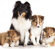 Породы собак с описанием и фото. - Страница 2 1482936020_shetland-sheepdog-dog-photo-8