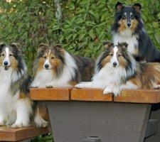 Породы собак с описанием и фото. - Страница 2 1482936039_shetland-sheepdog-dog-photo-6