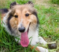 Породы собак с описанием и фото. - Страница 2 1482936043_shetland-sheepdog-dog-photo-3