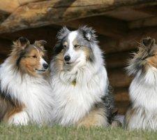 Породы собак с описанием и фото. - Страница 2 1482936044_shetland-sheepdog-dog-photo-1