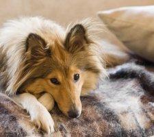 Породы собак с описанием и фото. - Страница 2 1482936050_shetland-sheepdog-dog-photo-4