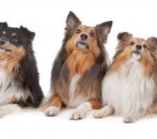 Породы собак с описанием и фото. - Страница 2 1482936060_shetland-sheepdog-dog-photo-5