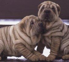 Породы собак с описанием и фото. - Страница 2 1482943087_chinese-shar-pei-dog-photo-3