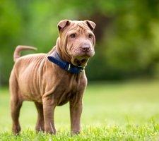 Породы собак с описанием и фото. - Страница 2 1482943117_chinese-shar-pei-dog-photo-7