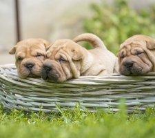 Породы собак с описанием и фото. - Страница 2 1482943121_chinese-shar-pei-dog-photo-8