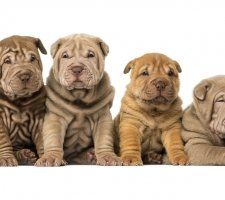 Породы собак с описанием и фото. - Страница 2 1482943122_chinese-shar-pei-dog-photo-5