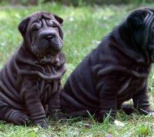 Породы собак с описанием и фото. - Страница 2 1482943158_chinese-shar-pei-dog-photo-4