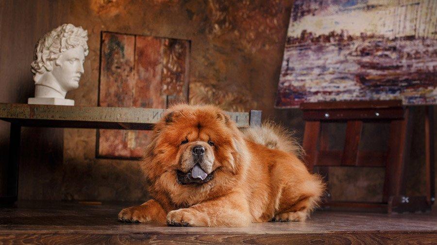 Породы собак для квартиры 1483435818_chow-chow-dog