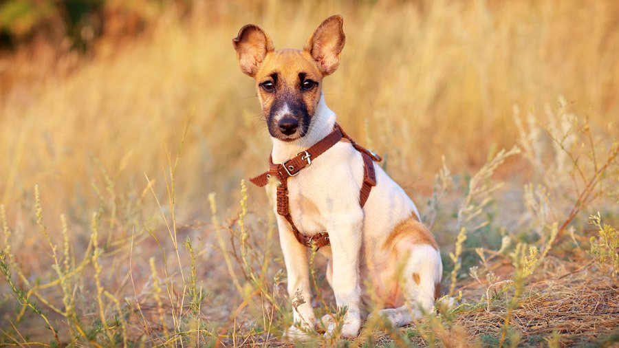 Самые умные породы собак 1483522036_fox-terrier-dog